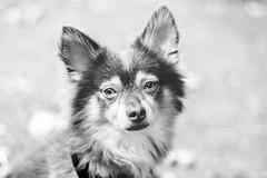 Hey you! (Carla Mountain Spirit) Tags: dog pet love sweet animal blackwhite pentacon50 vintagelens carlafreire