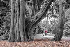 Westonbirt Arboretum (P Makin) Tags: westonbirt arboretum autumn leaves