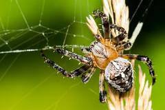 Araignée (Shiva.31) Tags: invertebréarthropodearaignée arachnide insecte