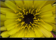 Yellow sun (Daniele Marongiu) Tags: fiore giallo sole nero nettare pianta vegetale petali flower yellow sun black nectar plant petals