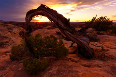 "Wrong way tree (Scott Stringham ""Rustling Leaf Design"") Tags: air bettereveryday canon canon6d canyonlands canyonlandsnationalpark dslr digital fullframe getoutside hello lookatme looking passion photo photograph rustlingleafdesign sigma stringham utah wrongway wrongwaytree buymeabeer desert earth escape graphic land landscape lettherebelight nature needles onceuponatime photography rustlingleaf scottstringham slickrocktrail tree wwwrustlingleafdesigncom"