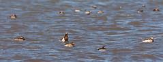 Arctic Ocean Long-tailed Ducks (Bonnie Ott) Tags: alaska deadhorsecamp dead horse arctic arcticocean
