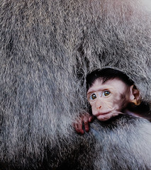 Snug 2-2 (scottelb) Tags: monkey