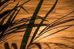 Photo Every Day - Day 3 (ByeCi) Tags: photoeveryday photochallenge 365 photo365 plant leaf fern light warm soft contrast line backlight backlit lamp