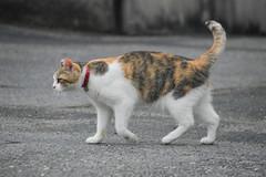 IMG_6467 Calico Japanese cat 縞三毛猫 (by ENJOY DESIGN) Tags: animal cat calico 猫 動物 ネコ japanesecat 三毛猫 猫写真 縞三毛 雌ネコ