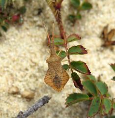 Syromastus rhombeus - Les Blanches Banques Dunes, Jersey 2015b (Steven Falk) Tags: steven falk rhombic leatherbug rhombeus syromastus