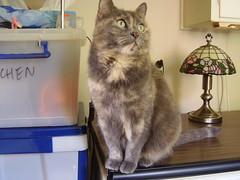 Matilda  waiting for food. (Matilda&Charlie&Josie ~ MCJ) Tags: matilda 9yo greybluecreamtortoiseshell