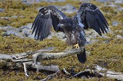 Juvenile Bald Eagle (Haliaeetus leucocephalus) (Travel4Two) Tags: alaska c1 2015 s0 5000k adl3