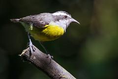 Sucrier  ventre jaune - Coereba flaveola (pmermino) Tags: bird jaune ecuador  ventre amazonas coereba flaveola sucrier