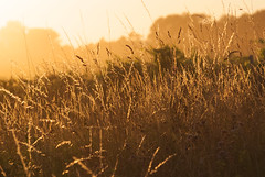 Grass at sunset (jonathan charles photo) Tags: sunset summer sunlight art topf25 grass evening photo jonathan charles contrejour gourvillette