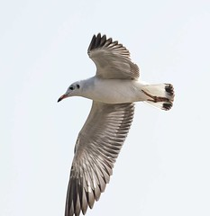 Brown headed gull (asheshr) Tags: bird gull birdinflight gullinflight brownheadedgull
