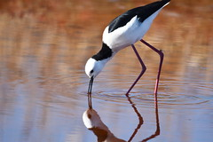 Black-winged stilt (Himantopus himantopus) (brent.henriksen) Tags: red white lake black reflection bird water animal fishing legs head beak australia melbourne victoria werribee wader westerntreatmentplant