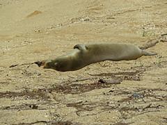 Monk Seal (abattlingbishop) Tags: monkseal abattlingbishop