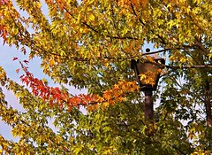 branchin' out in color (MissyPenny) Tags: autumn usa tree leaves gold pennsylvania levittown southeasternpa commonwealthpa