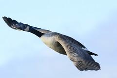 _DSC4657 Canadese Gans : Bernache du Canada : Branta canadensis : Kanadagans : Canada Goose