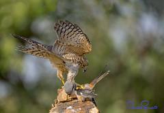 Shikra (TARIQ HAMEED SULEMANI) Tags: travel pakistan tourism nature birds trekking photography nikon punjab tariq supershot shikra sulemani llovemypics tariqhameedsulemani