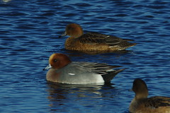 IMGP0164 Wigeon (pair), Welney Washes, December 2015 (bobchappell55) Tags: nature duck wildlife reserve wetlands trust wildfowl wigeon welney washes dabbling