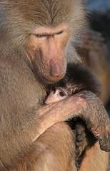 mantelbaviaan emmen JN6A9836 (j.a.kok) Tags: monkey baboon emmen baviaan papiohamadryas mantelbaviaan hamadryasbaboon