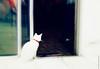 (Maiara Laila Lessa) Tags: milka gatinho gatobranco