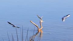 Mouette rieuse (Chroicocephalus ridibundus) (yann.dimauro) Tags: france animal fr extrieur oiseau rhone rhnealpes givors ornithologie