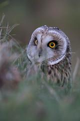 The eyes have it (Ron Winkler nature) Tags: shorteared owl asio flammeus bird birding netherlands vogel birdwatching canon asioflammeus