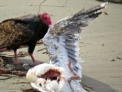 Nature at work (morroelsie) Tags: vulture centralcoast turkeyvulture centralcoastbirds vulturefeeding morroelsie