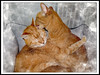 Caring (2016) (gtncats) Tags: cats pets texture canon feline indoor tabbies caring loved orangetabbies photographyforrecreation frameitlevel01 canong16 canonpowershotg16 infinitexposure