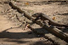 Tupinambis merianae (azambolli) Tags: teiu lizard tegu lagarto reptile reptil animal brasil nature natureza
