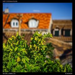 Limes of Dubrovnik (Falcdragon) Tags: citywalls dubrovnik city sonyzeisssonnarfe1855mza sonya7alpha limes citrus tree bush fruit green color colours urban croatia travelphotography travel