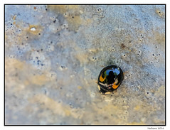 2016-06-26_Coccinelle-0007 (Hacheme 26) Tags: animaux coccinelle insecte natureetpaysages pierrelongue france