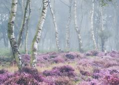 Tangled (Vemsteroo) Tags: 50140 beautiful birch circularpolariser dawn derbyshire fog forest fuji fujifilm heather leefilters mist moor morning nature peakdistrict peaks stanton summer sunrise trees rural xseries autumn silverbirch purple beautyinnature