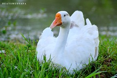 Queen Duck White With Orange :) #queen #duck #white #photography #shoot #nikon #d3100 #its #amazing (Mustafa Photography) Tags: nikon amazing d3100 its photography queen white duck shoot