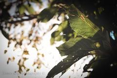 Fuji x-t10 pentacon (Jasrmcf) Tags: fuji fujinon fujifilm fujixt10 fujimacro garden leaf tree green nature beautiful bokeh bokehlicious bokehgraph smooth blur sky pentacon 30mm detail