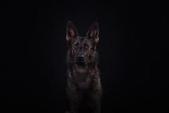 Why so serious? (Niuq) Tags: todpdog studio blackcanvas dark sable czech workingline germanshepherd gsd expression