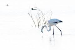 flamingo-5810 (buntehof) Tags: flamingo salgado portugal highkey whitebackground monochrome