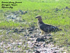 Glare (r0ysuman) Tags: nikon coolpix p 530 india kanpur uttar pradesh flora fauna bird birds oriental honey buzzard raptor