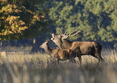Red deer stag and hind (gideonc - Thank you for the 1,000,000+ views) Tags: ukwildlife helinghamdeerpark suffolk eastanglia eastofengland reddeer rut reddeerstag bellowing autumn nikond7100 tamron200500mm gideonc