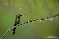 Sword-billed Hummingbird, Ecuador (www.juancarlosvindasphoto.com) Tags: juancarlosvindas centralamerica nature wildlife landscape frog amphibian birds birdphotography photographer photos pictures stock fulllength nobody frontalview sideview outdoors mammals endemic reptiles portraitmode portrait large small aves colibries colibris hummingbird canon multiflash gear tropical rainforest cloudforest tropicaldryforest protected workshop tour expedition unique cute waterfall green forest poisonous rightsmanaged rm getty treefrog leaffrog landscapes ecuador distinctive endangered animalsinthewild birdwatching biology biodiversity multicolored animal toucan wildanimals tropicalbirds neotropicwildlife neotropicbirds ensiferaensifera swordbilledhummingbird
