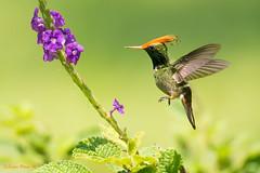 Rufuos-crested Coquette, Lophornis delattrei Coqueta Crestirufa macho. (Sergio Bitran M) Tags: peru manu ave bird picaflor apodiformes trochilidae coqueta rufuoscrestedcoquette lophornisdelattrei coquetacrestirufamacho hummingbird