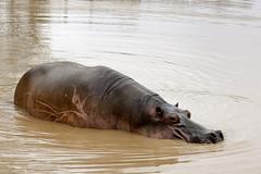 Hipopotamo (JuanEsOc) Tags: hipopotamo naturaleza
