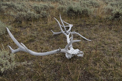 "Elk Skull and Antler • <a style=""font-size:0.8em;"" href=""http://www.flickr.com/photos/63501323@N07/30020533246/"" target=""_blank"">View on Flickr</a>"
