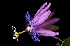 Passiflora Amethyst (Giorgio Armano) Tags: passiflora amthyst nikon helicon focus macro fiore flower fiori