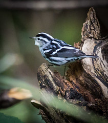 Black and White Warbler (Wild Birdy) Tags: bird avian black white warbler cute adorable small migratory mniotilta varia mn mullins woods umn forest minnesota