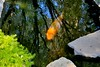 ♪♫•*♥*•♫♪.. Rosh HaShanna Fish Special.. ♪♫•*♥*•♫♪ (Chic Bee) Tags: govindapond govinda pond hot summer day newamericanconsumerstwohourminivacation american consumer twohour minivacation tucson arizona sunny bright ongoldenpond beautifulfish fish koi beautifulkoi colorful mayyouimmediatelybeinscribedandsealedforagoodyearandforagoodandpeacefullife roshhashanna jewishnewyear jewish newyear inscribedandsealed inscribed written sealed in bookoflife book life tshuva return repentance forgiveness rededication kavanah withintent withconviction slichas slichot breadcrumbs bread crumbs ducks egrets fortlowell or lake roshhashonah delightful yomtov glorious foods delicious chagim appetizing 2010 cuisine essandfresstoyourheartscontent shofardayofremembranceshanatovaumetukahapplesandhoneychallahwineblessingsnewyeardaysofawejudgmentyomhadinsovereignty rememberance andshofarblastsmalchuyotzichronot shofrotwrittensealedgoodyearketivavechatimatovahleshanatovatikotevvetichotemmayyouimmediatelybeinscribedandsealedforagoodyearandforagoodandpeacefullife