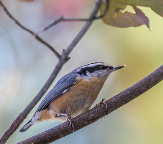 Red-breasted Nuthatch  1Z9A2239