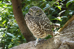 Burrowing owl (ucumari photography) Tags: ucumariphotography nc north carolina zoo burrowingowl athenecunicularia bird animal november 2016 dsc7904 specanimal