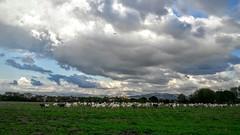 Tornando a casa (leosagnotti) Tags: capre campagna romana nuvole gregge