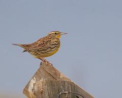 Western Meadowlark (Keith Carlson) Tags: westernmeadowlark sturnellaneglecta