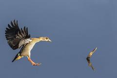 nile goose, landing (neurodoc2010) Tags: nile goose abstract landing canon eos 7dmarkii wonderful morning