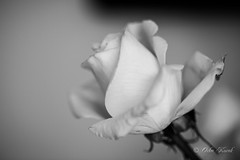BW White Rose-0961 (Orkakorak) Tags: roses whit red bw